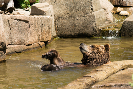 A brown bear doing a back float in the water.