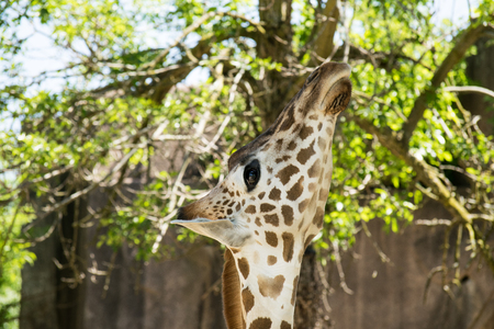 A head shot of a giraffe reaching for a leafy snack. Banco de Imagens
