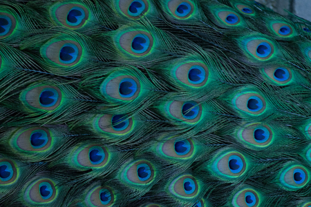 Close view of the plumage of a male peacock.
