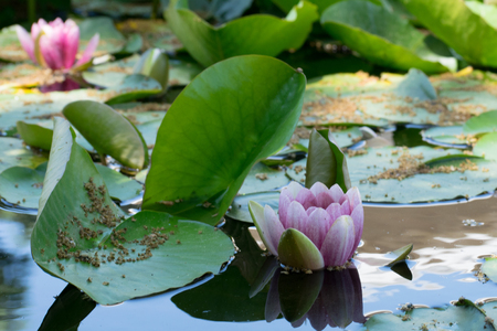 Side view of water lilies in a pond. Banco de Imagens