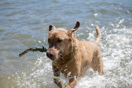 Labrador retriever playing in the water Banco de Imagens