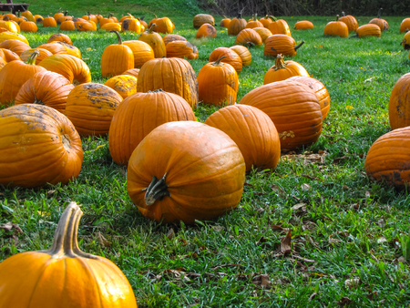 Pumpkin patch waiting for people to come and bring them home for Halloween. Banco de Imagens