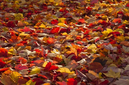 autumn colour: A ray of sunlight on the fallen autumn leaves.