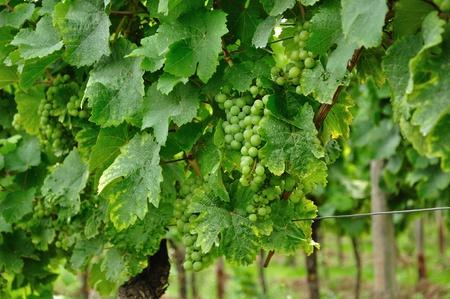 Vineyard. Stock Photo