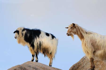goats on rock photo