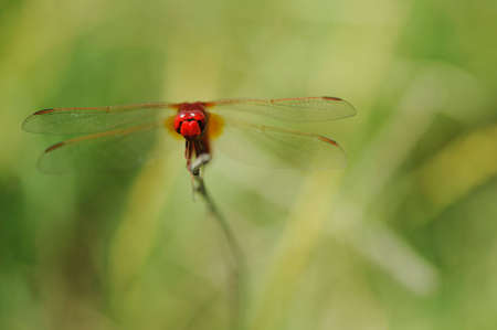 red dragonfly Stock Photo - 4057655