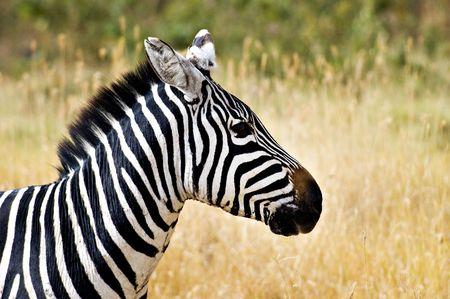 profile: Zebra Head Profile