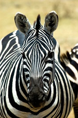 Zebra Head Portrait Stock Photo - 3849063