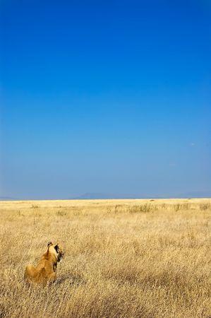 Lion Overlooking Savannah