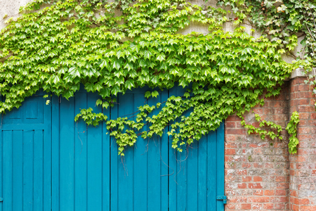 entwined: The Ivy entwined the garage door