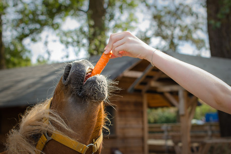 marchew: feeding carrots to the horse