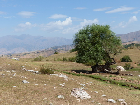 Isolated strange shaped low tree in the arid mountains of Uzbekistan 版權商用圖片