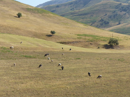 Cows grazing in a yellow meadow on a torrid day in the mountains of Uzbekistan