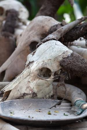 Buffalo skeleton photo