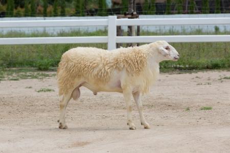 Breeder sheep