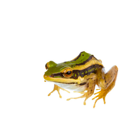 arboreal frog: Common green frog