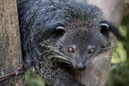civet cat: Sleepy bear