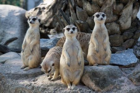 erdmaennchen: Meerkat
