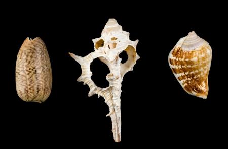 murex shell: Mixed shells