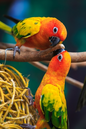 Sun conure photo