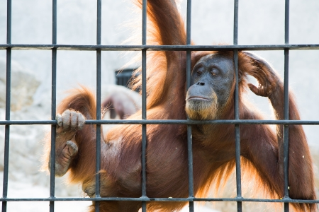 penned: Caged ape