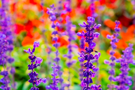 Blue salvia photo