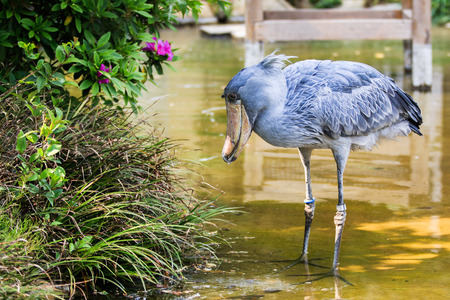 Captive shoebill stork photo