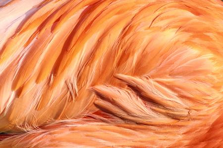 Detail of flamingos feather
