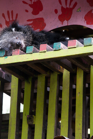 Cute bearcat on tree branch Stock Photo
