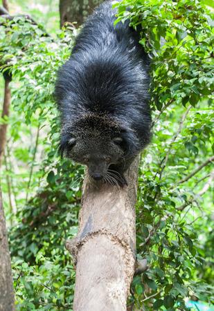 bearcat: Cute bearcat on tree branch Stock Photo