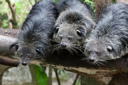 civet cat: Cute bearcat on tree branch Stock Photo