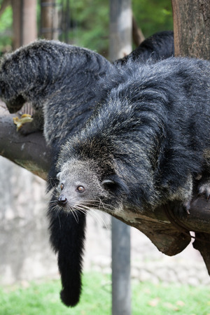 bearcat: Cute bearcat on tree branch Stock Photo