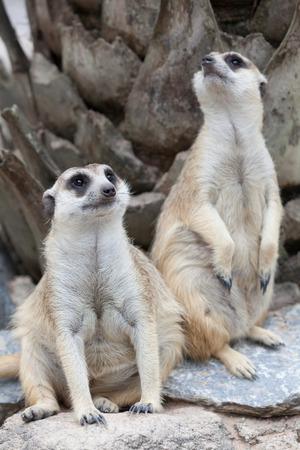 erdmaennchen: Meerkat looking alert at something Stock Photo