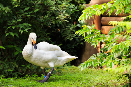 Lovely swan on the grass photo