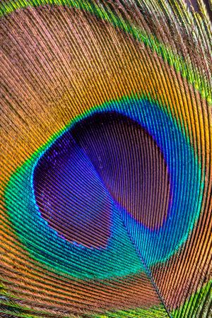 close uo: Asian peacock feather close uo Stock Photo