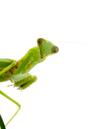 predatory insect: Close up on preying mantis, isolated on white Stock Photo