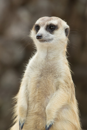 watchful: Close up on watchful meerkat stading guard Stock Photo