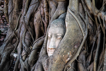 Ancient buddha head embeded in banyan tree from Ayutthaya, Thailand photo