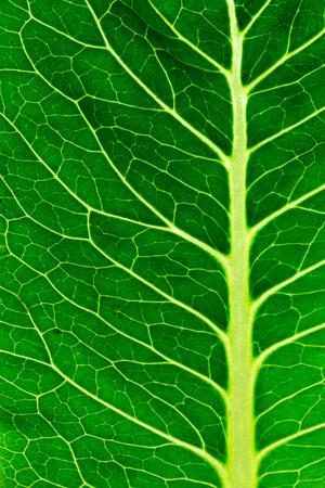 background green: Close up on a salad leaf - Backlit