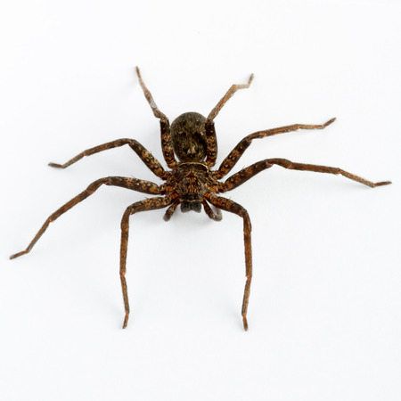 spiders: Close up on an asian wolf spider isolated on white background