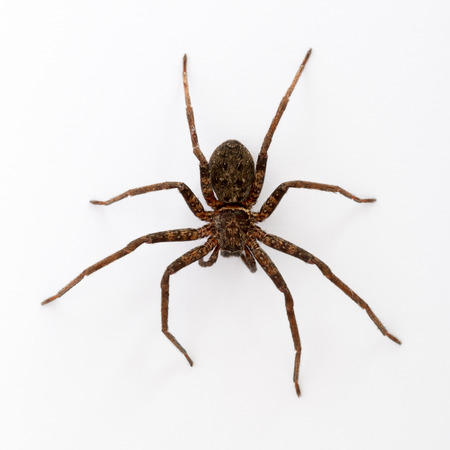 Close up on an asian wolf spider isolated on white background