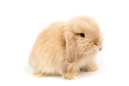 lop lop rabbit white: Baby Holland lop rabbit - Isolated on white