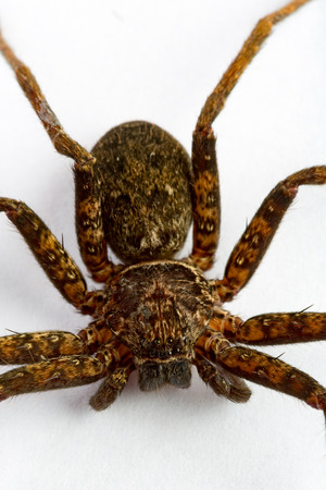 araneae: Close up on an asian wolf spider isolated on white background