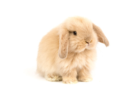 lop: Baby Holland lop rabbit - Isolated on white