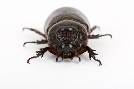 scarabaeidae: Live dung beetle isolated on white background