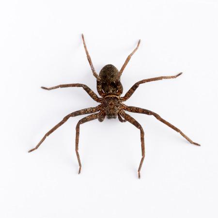 Close-up op een Aziatische wolf spider op een witte achtergrond Stockfoto