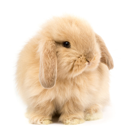 brown white: Baby Holland lop rabbit - Isolated on white
