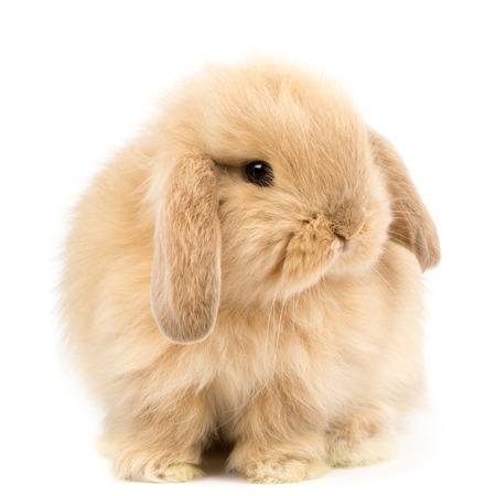 conejo: Beb� Holanda lop conejo - aislada en blanco Foto de archivo