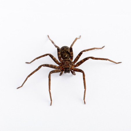 wolf spider: Close up on an asian wolf spider isolated on white background