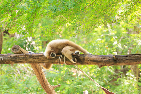 hominid: Gibbon sleeping